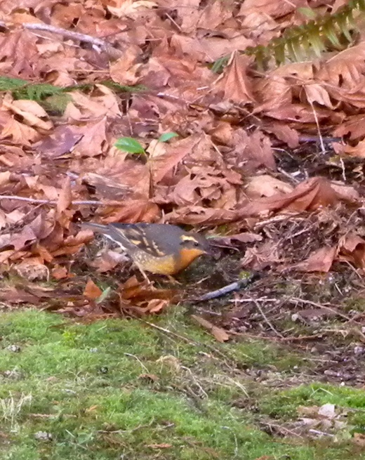 In our back yard we have a couple areas where we let leaves lie and we gather debris that falls from the trees. This pile of sticks and leaves attracts birds all winter who forage on the ground for food, including this varied thrush. It's fun to watch them from our full length windows.