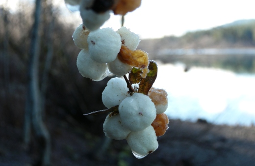 The blowing snow outside tonight is like the frozen snowberries, so delicate and beautiful, at the lake.