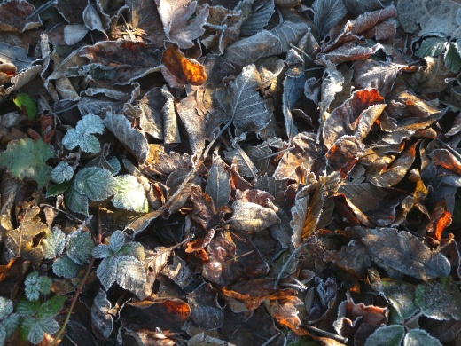 Fall's leaves and the ubiquitous blackberry sprigs mixed beautifully in the frost and dappled sunshine.