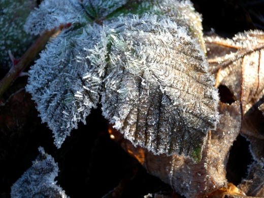 A close up view of the frosty blackberry sprig...Can you find it in the pile of leaves above?...Where's Waldo? :)