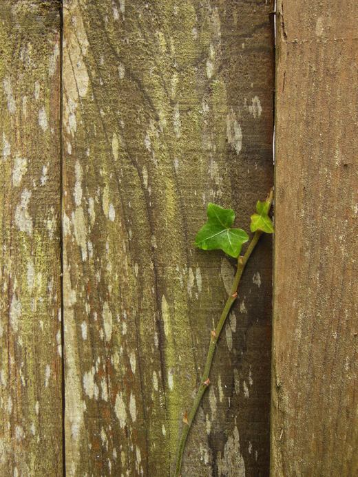 Can a fence post be inspiring and full of life? The beauty of these boards inspired me, along with the determination of the ivy, lichen and moss to find their home here.