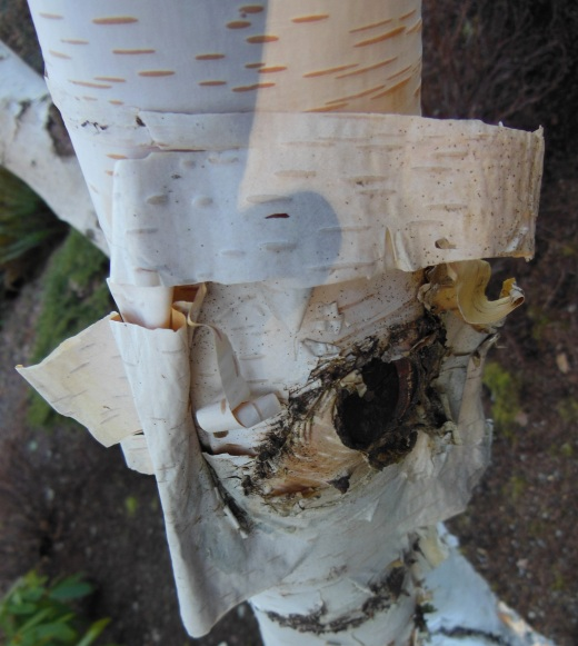 When I looked more closely at the lovely, peeling birch bark, I felt the birch was looking back.