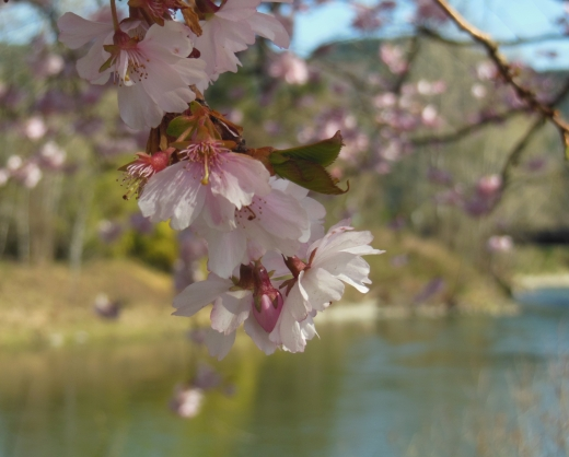 Happy Easter! The ultimate herald of Spring, cherry blossoms by the river.