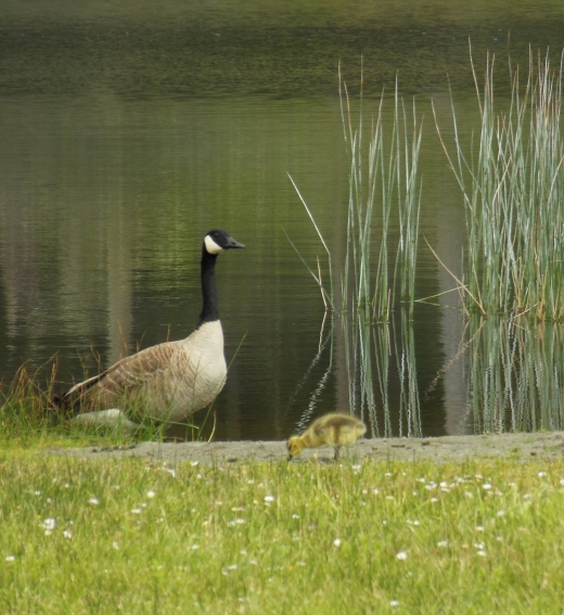 A handsome Canadian goose and one of his new goslings graze peacefully by the lake.