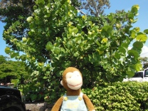 George by the Sea Grape Tree at Kailua-Kona Farmers Market. He did a little shopping before brunch