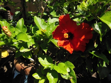 The hibiscus in the courtyard by the Lava Java reminded George of Jamaica and Sheri of her yard in Miami when she was a kid.