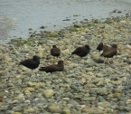 Black oystercatchers Birch Bay