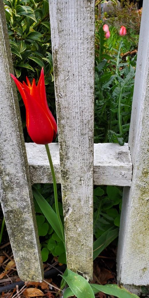 Tulip walk 4-8-19